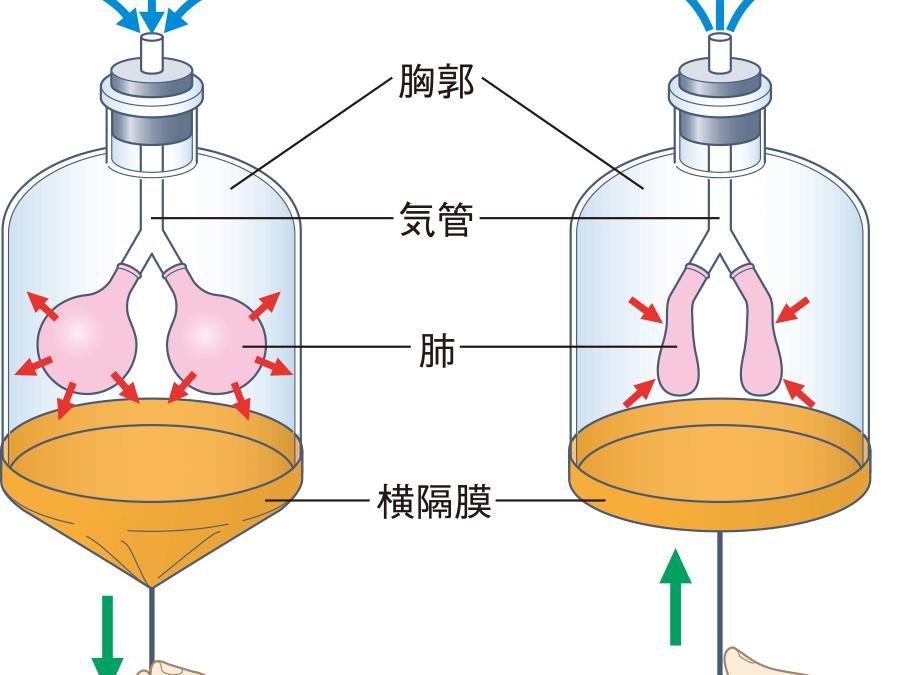 呼吸法の生理学